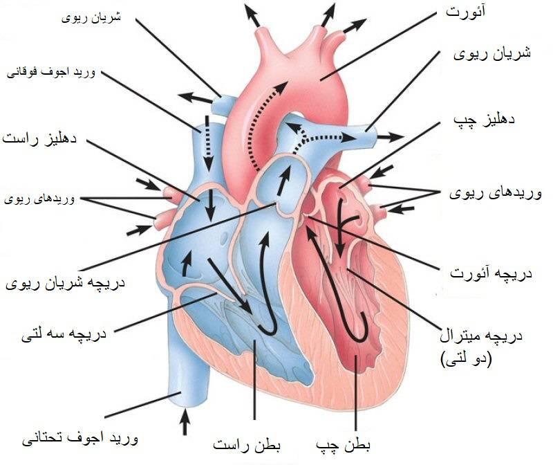 ساختار قلب